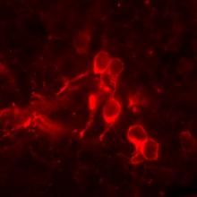 alexandre mnemosyne brain models memory