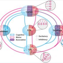 Boraud ; Burbaud ; Cognitive and motor executive functions ; Decision-making ; Dystonia ; Obsessive-compulsive disorder ; Basal ganglia ; Spatial navigation